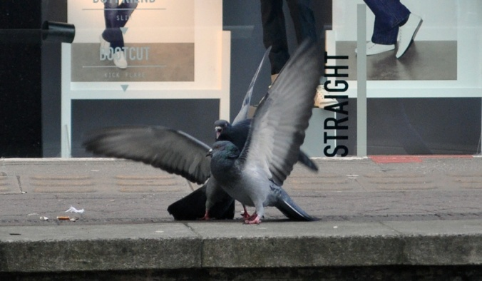The-Mayfairy-Manchester-Pigeons